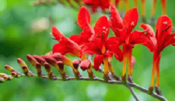 Bright red Crocosmia available at Crocus
